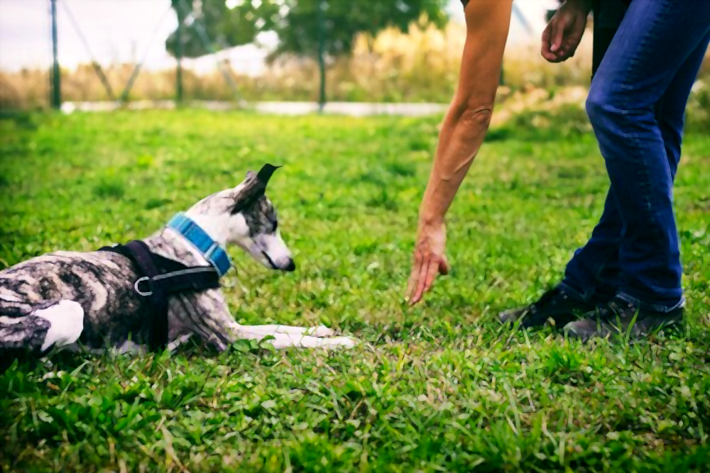 how-to-teach-your-dog-the-down-command