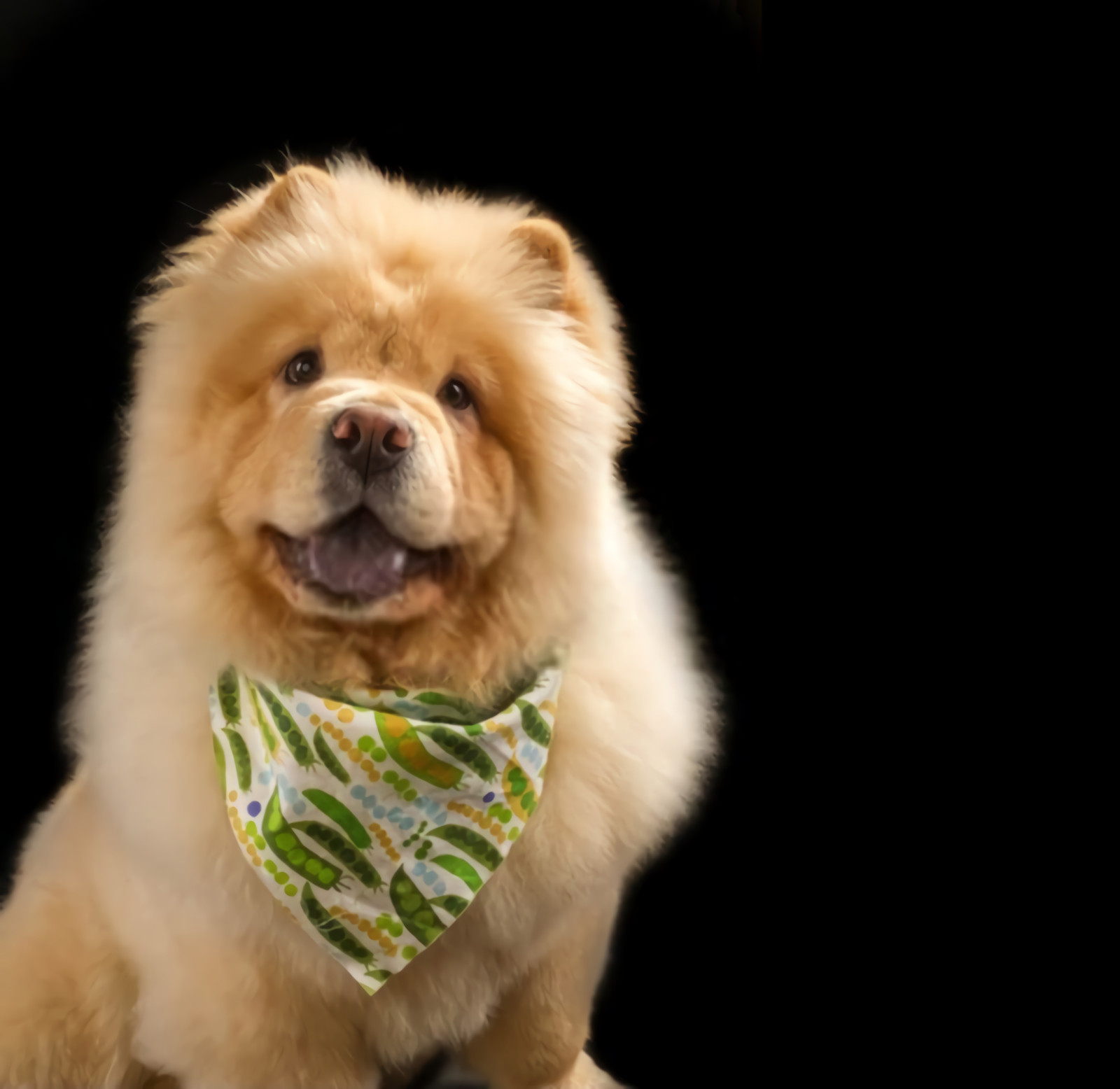 Chow Chow Breed Dog