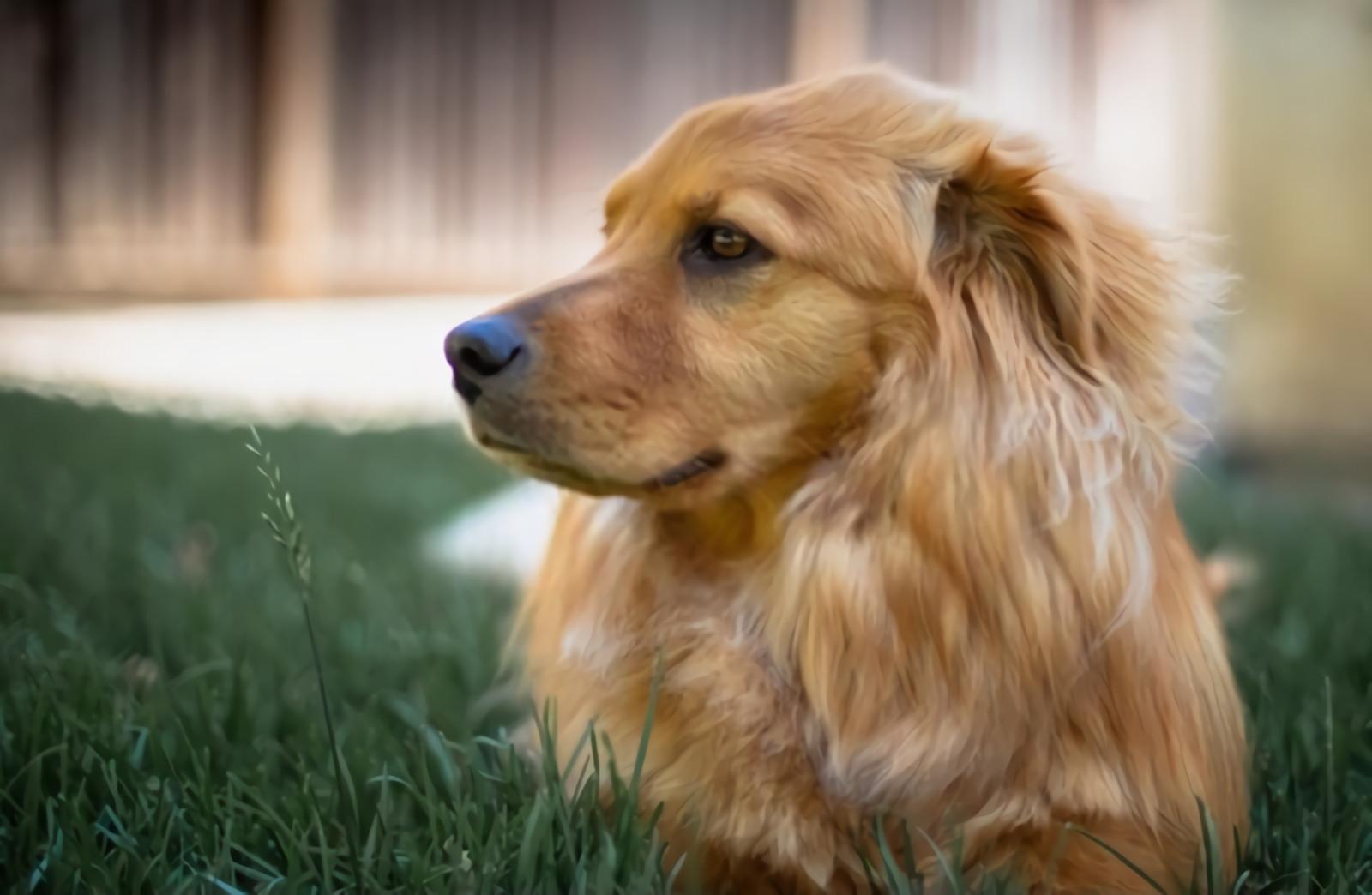 Golden Dog Sitting Grass