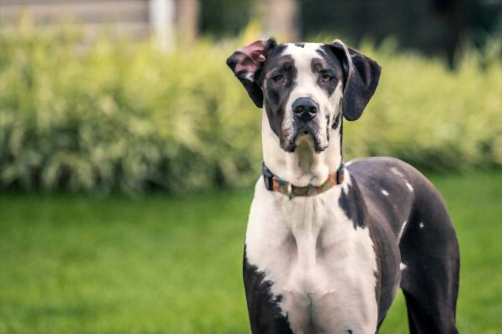 Great-Dane-adult-dog-price