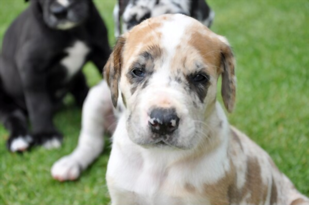 Great-Dane-puppies-cost