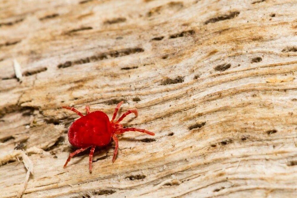Red Velvet Mite Trombidium Holosericeum