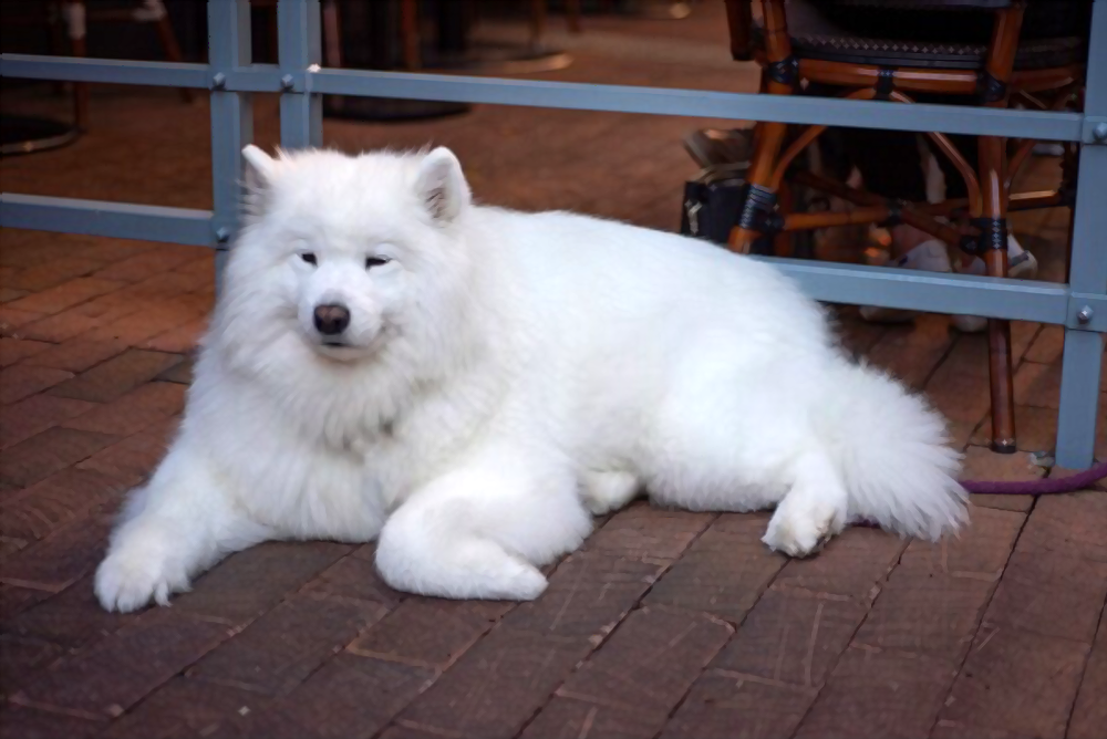 Samoyed-price