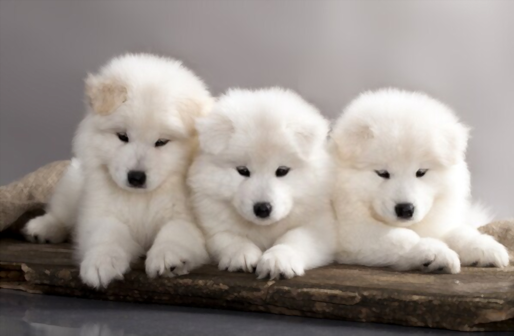 Samoyed-puppies-cost