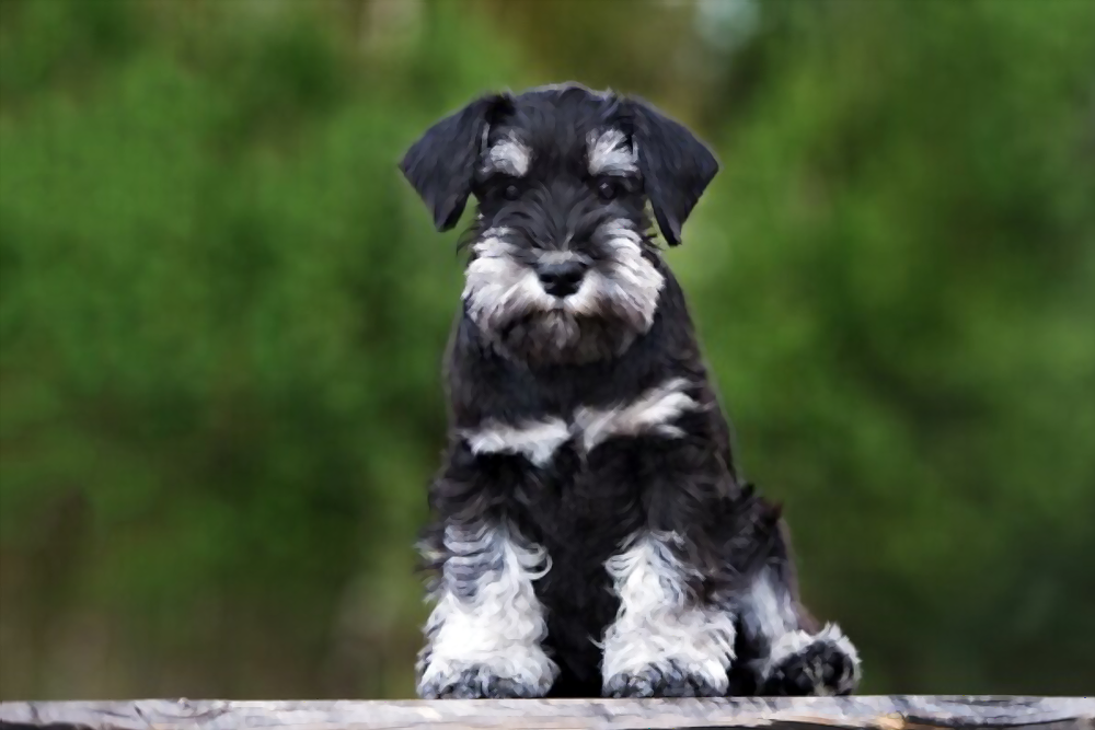 how-much-does-a-Miniature-Schnauzer-cost