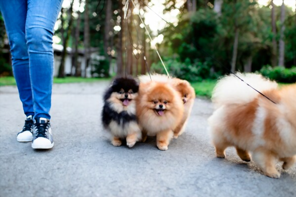 how-much-does-a-Pomeranian-cost