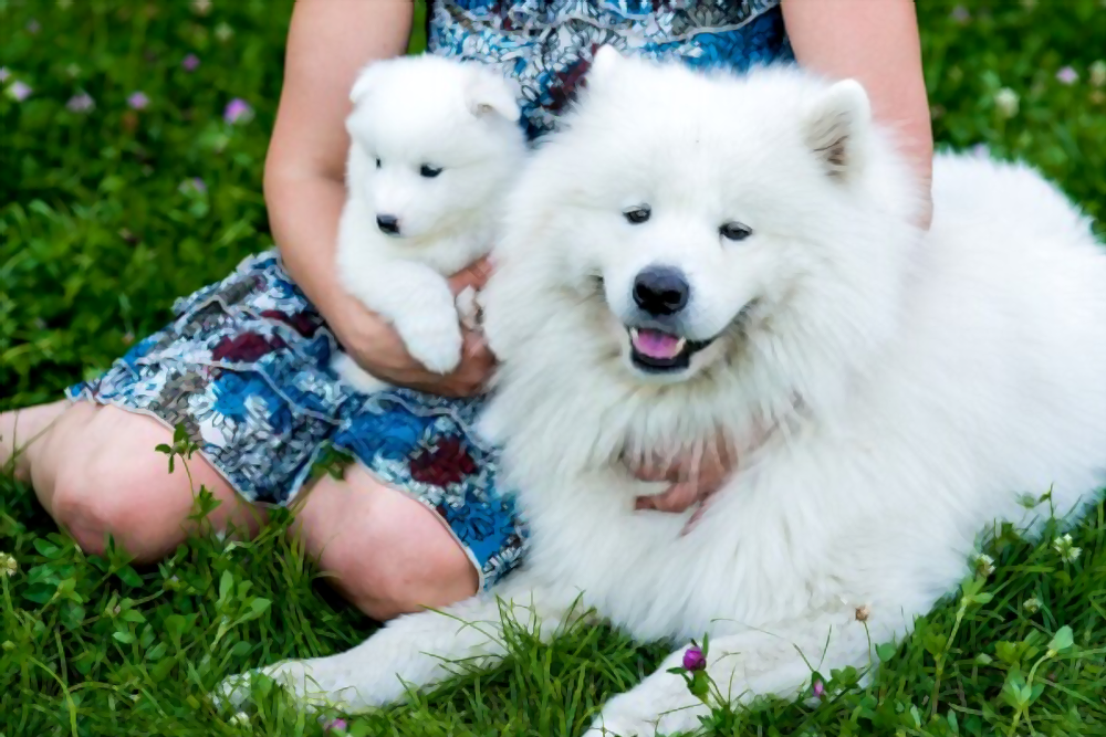 how-much-does-a-Samoyed-cost