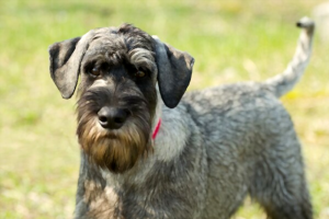 how-much-does-a-Standard-Schnauzer-cost