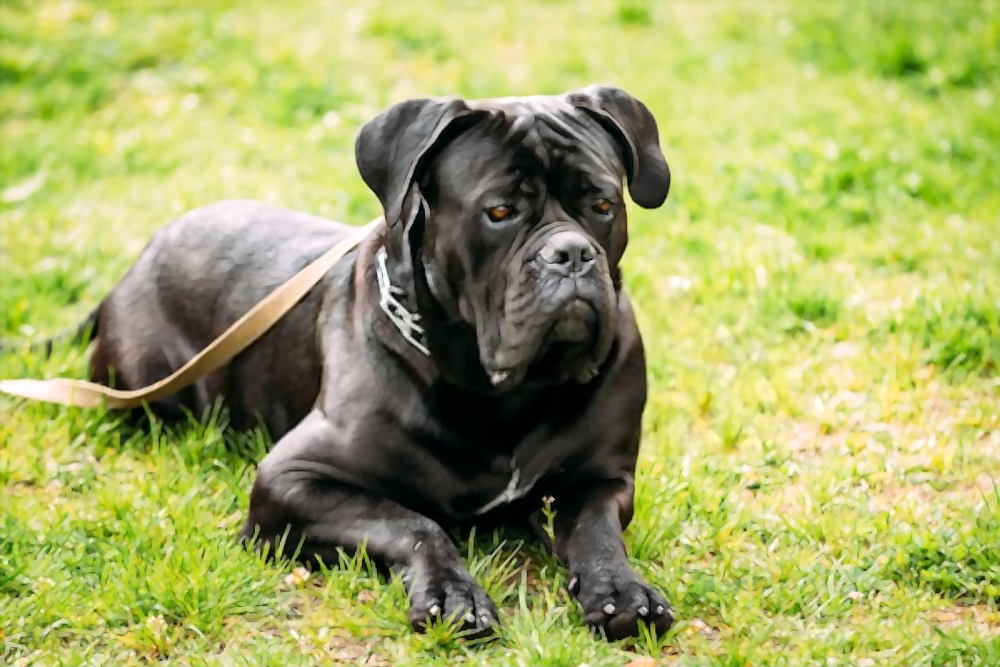 how-much-does-a-cane-corso-cost